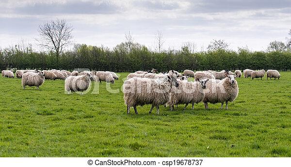 flock of sheep in meadow - csp19678737