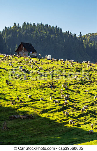 flock of sheep on the meadow near  forest in mountains - csp39568685