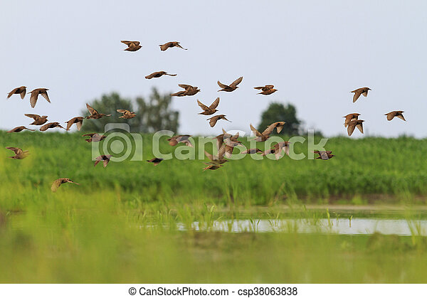 flock of starlings flying over the lake - csp38063838
