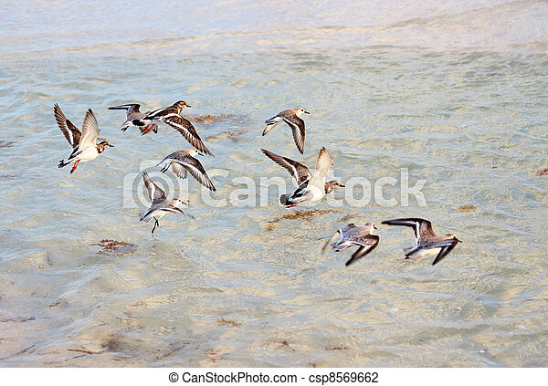flock of Tringa flying over the sea. - csp8569662