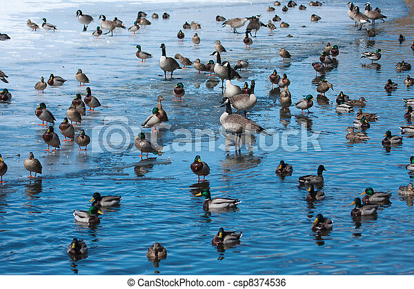 Flock of wild ducks and geese. - csp8374536