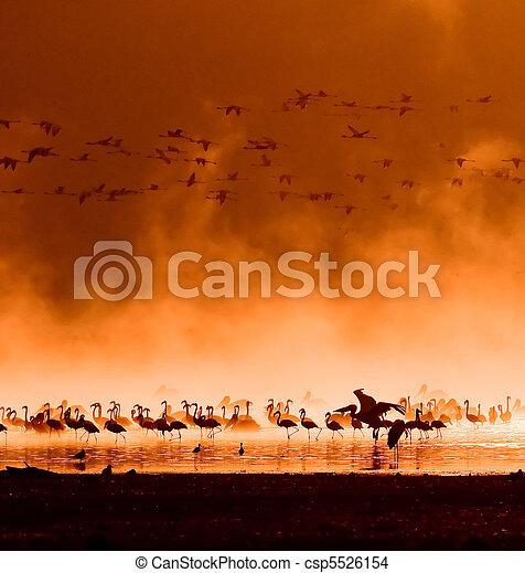 flocks of flamingos in the sunrise - csp5526154