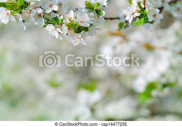 La rama de manzano en flor en primavera - csp14477235