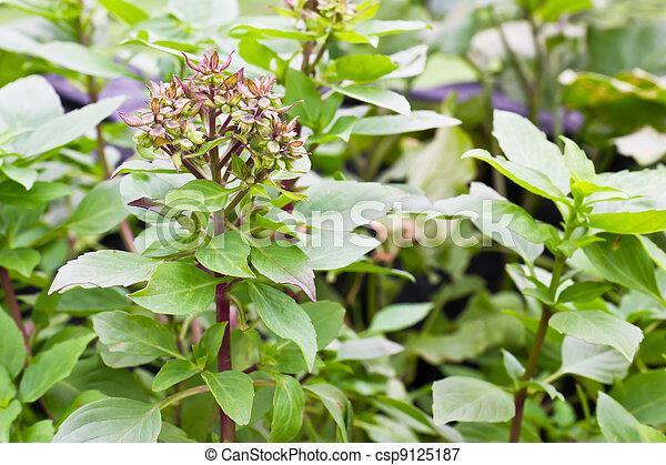 Flor de albahaca dulce - csp9125187