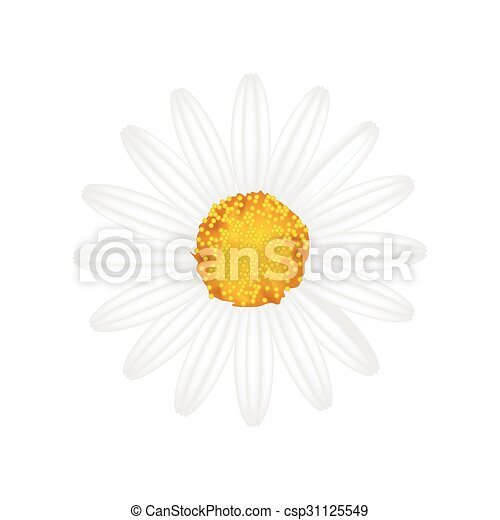 Flor de margarita blanca en un fondo blanco - csp31125549