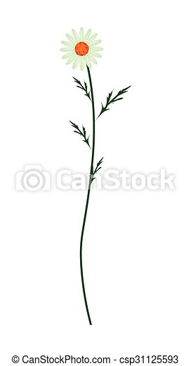 Flor de margarita verde en un fondo blanco - csp31125593