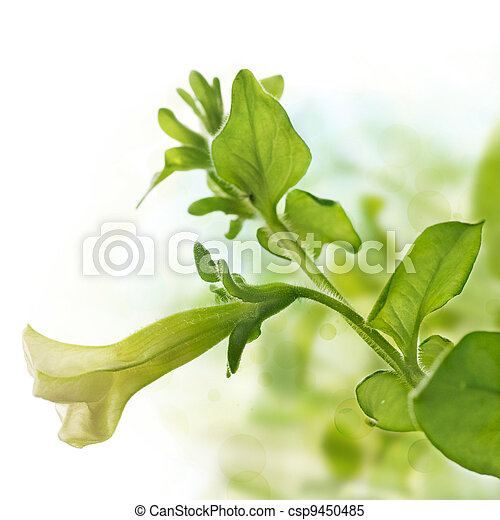 Primera flor de pendula petunia sobre fondo verde y blanco, elemento de diseño para la frontera de una página - csp9450485