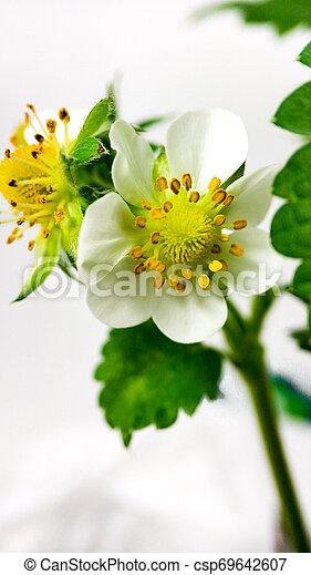 Flor de fresa en maceta. Moras sin madurar. Macro en fondo blanco - csp69642607