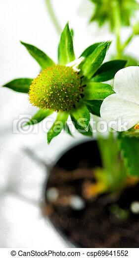 Flor de fresa en maceta. Moras sin madurar. Macro en fondo blanco - csp69641552