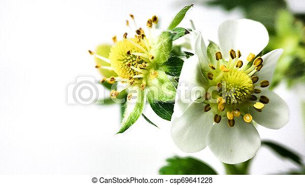 Flor de fresa en maceta. Moras sin madurar. Macro en fondo blanco - csp69641228