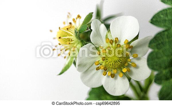 Flor de fresa en maceta. Moras sin madurar. Macro en fondo blanco - csp69642895
