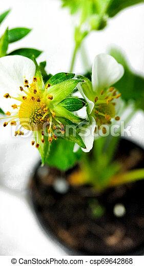 Flor de fresa en maceta. Moras sin madurar. Macro en fondo blanco - csp69642868