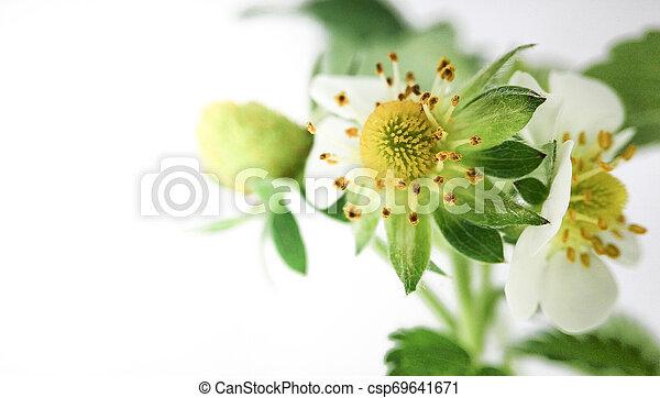 Flor de fresa en maceta. Moras sin madurar. Macro en fondo blanco - csp69641671