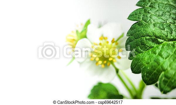 Flor de fresa en maceta. Moras sin madurar. Macro en fondo blanco - csp69642517