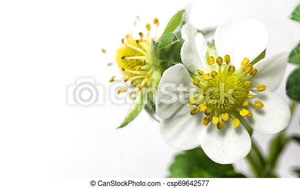 Flor de fresa en maceta. Moras sin madurar. Macro en fondo blanco - csp69642577