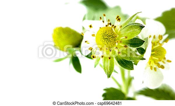 Flor de fresa en maceta. Moras sin madurar. Macro en fondo blanco - csp69642481