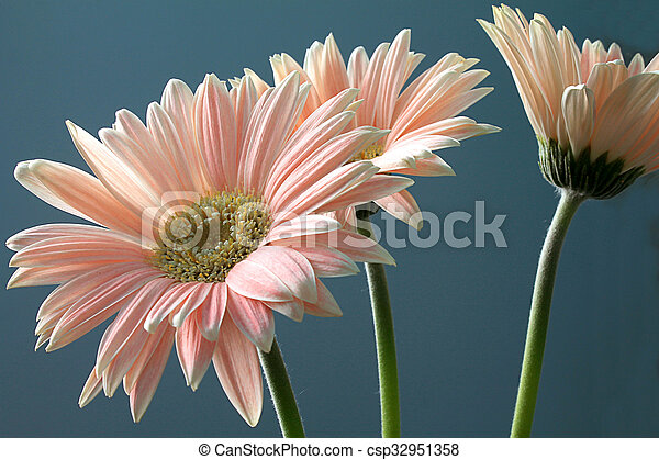 flor gerbera flor ornamental