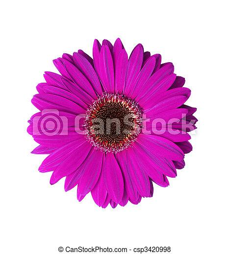 flor gerbera violeta hermoso recorte flor aislado violeta