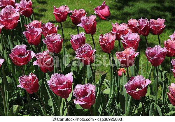 flor, holanda, púrpura, tulipanes, parque, países bajos, jardín, keukenhof - csp36925603