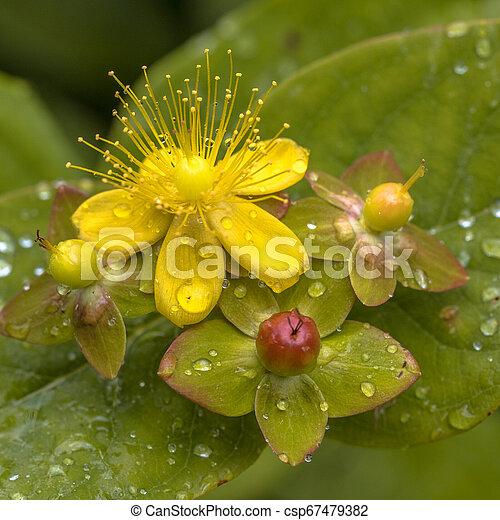 Flor del hipericum amarillo - csp67479382
