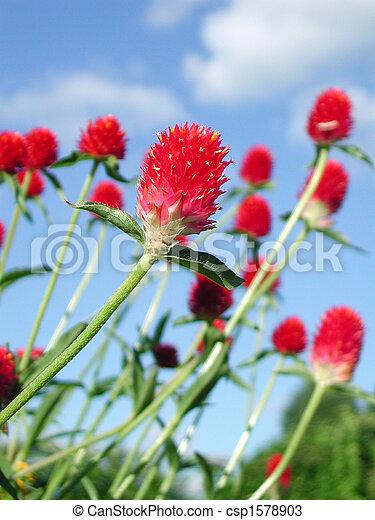 Flor roja llena de vitalidad - csp1578903