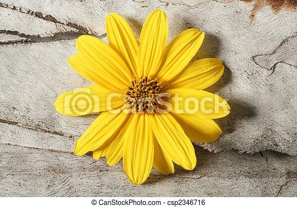flor, macro, amarela, estúdio, margarida, tiro - csp2346716