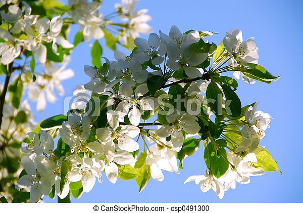 flor, manzana - csp0491300