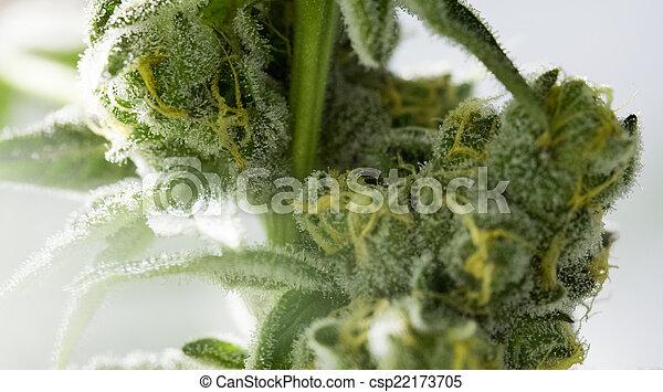 flor, marijuana, buds. - csp22173705