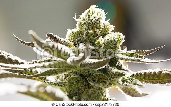 flor, marijuana, buds. - csp22173720