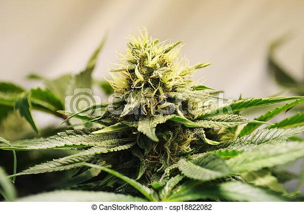 flor, marijuana - csp18822082