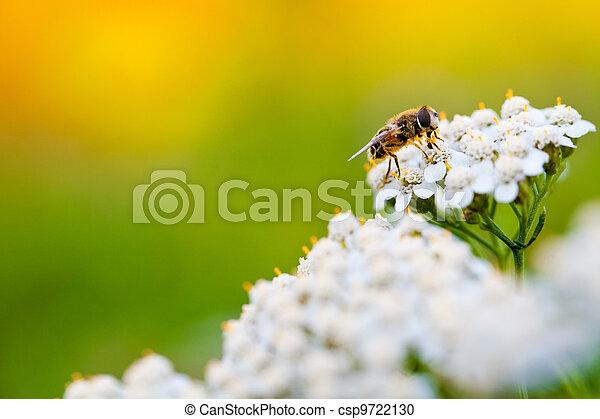 flor mola, dia, abelha - csp9722130