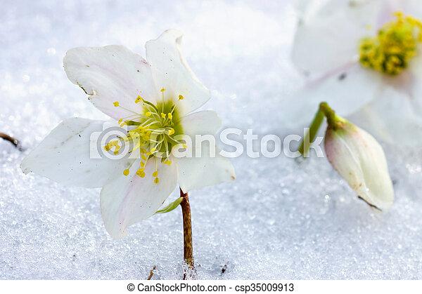 flor, neve, hellebore - csp35009913