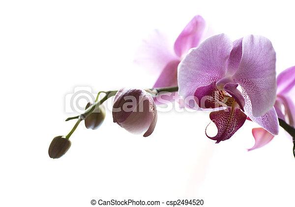 flor, orquídea - csp2494520
