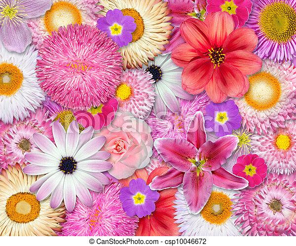 Flor Rosa Colores Plano De Fondo Rojo Blanco Primavera Flor
