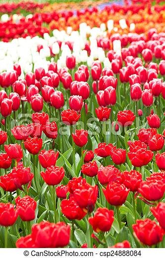 flor rosa, jardín, keukenhof, tulipanes, países bajos, rojo - csp24888084