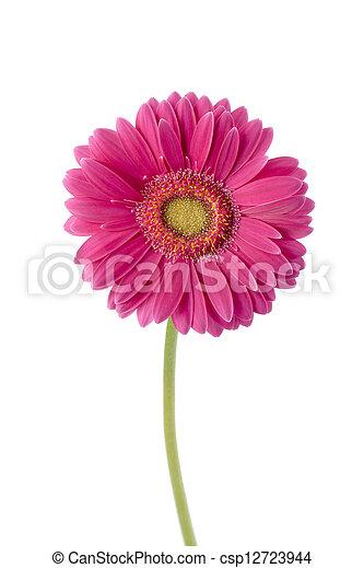 Flor rosa, margarita. Flor rosa, tallo, plano de fondo ...