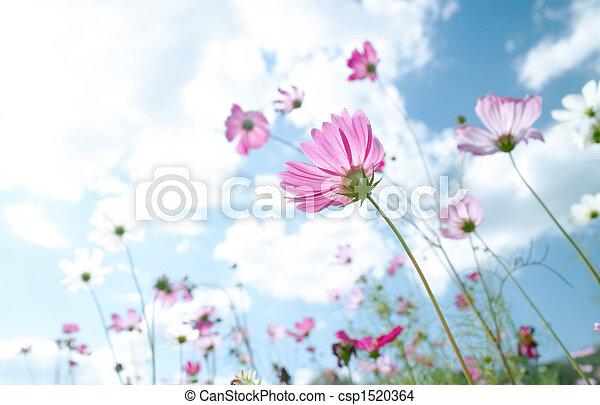 flor selvagem - csp1520364