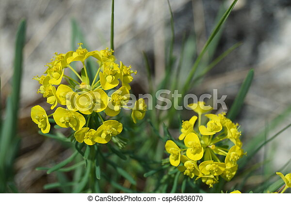 Flor de primavera amarilla - csp46836070