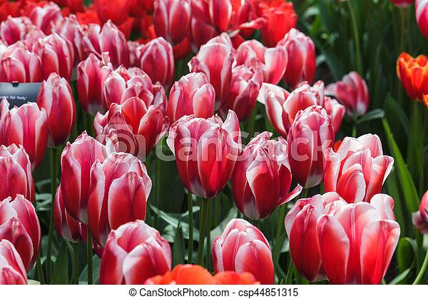 flor, tulipanes, primavera, cama, (tulipa), tiempo, rojo - csp44851315