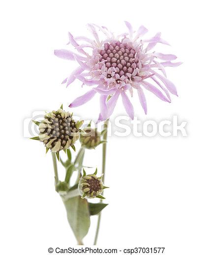 Flora of Gran Canaria - Mountain scabious - csp37031577