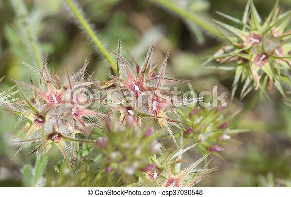 Flora of Gran Canaria - Trifolium stellatum - csp37030548