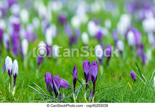 Floral background purple white crocuses field of purple and white floral background purple white crocuses csp45293039 mightylinksfo