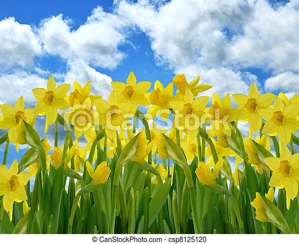 flores, amarillo, narciso - csp8125120
