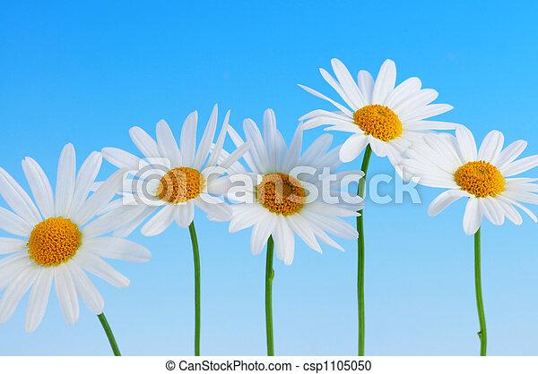 flores azuis, fundo, margarida - csp1105050