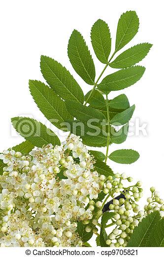 flores blancas, rowan - csp9705821