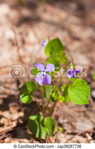 Flores violetas del bosque - csp38287736