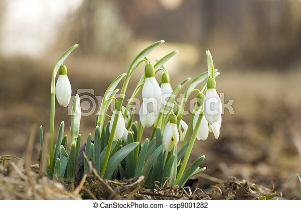 flores del resorte, snowdrop - csp9001282