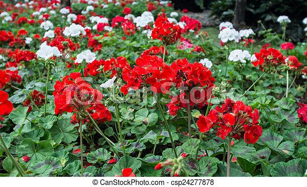Hermosas flores de geranio - csp24277878