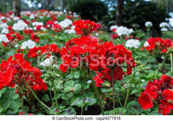 Hermosas flores de geranio - csp24277918