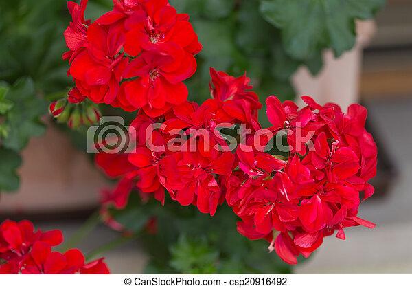 Flores de geranio de jardín rojo - csp20916492
